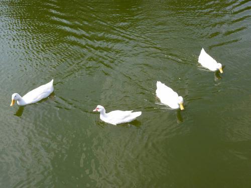 Πάπιες σε λίμνη του πάρκου Τρίτση