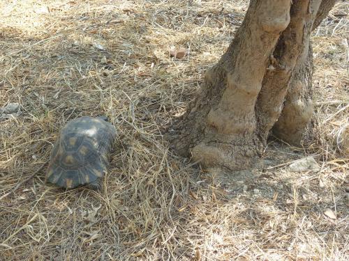 Χελώνα στο πάρκο Τρίτση
